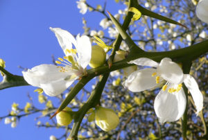 fiore di neroli olio essenziale