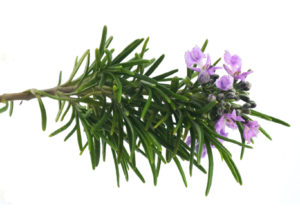 Blossoming rosemary branch isolated on white